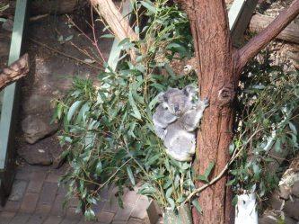 37 Koala 9