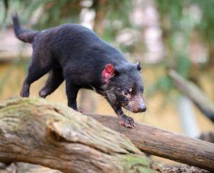 Tasmanian devil at Featherdale Wildlife Park