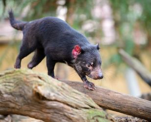 Tasmanian devil at Featherdale Wildlife Park